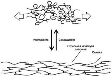 Рис. 15-12. Молекулы эластина связаны ковалентными сшивками в обширную сеть.